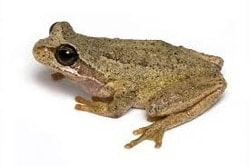 Image of a Frog