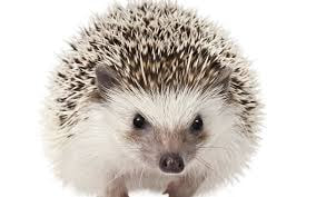 Image of a hedgehog.